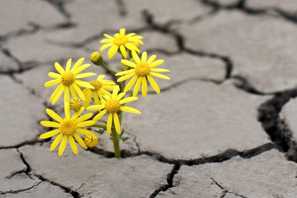 Gelbe Blumen wachsen aus einem trockenen Boden heraus